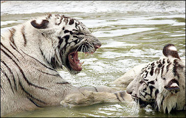 White Tigers, India [AFP 2006-05-07]; Image ONLY