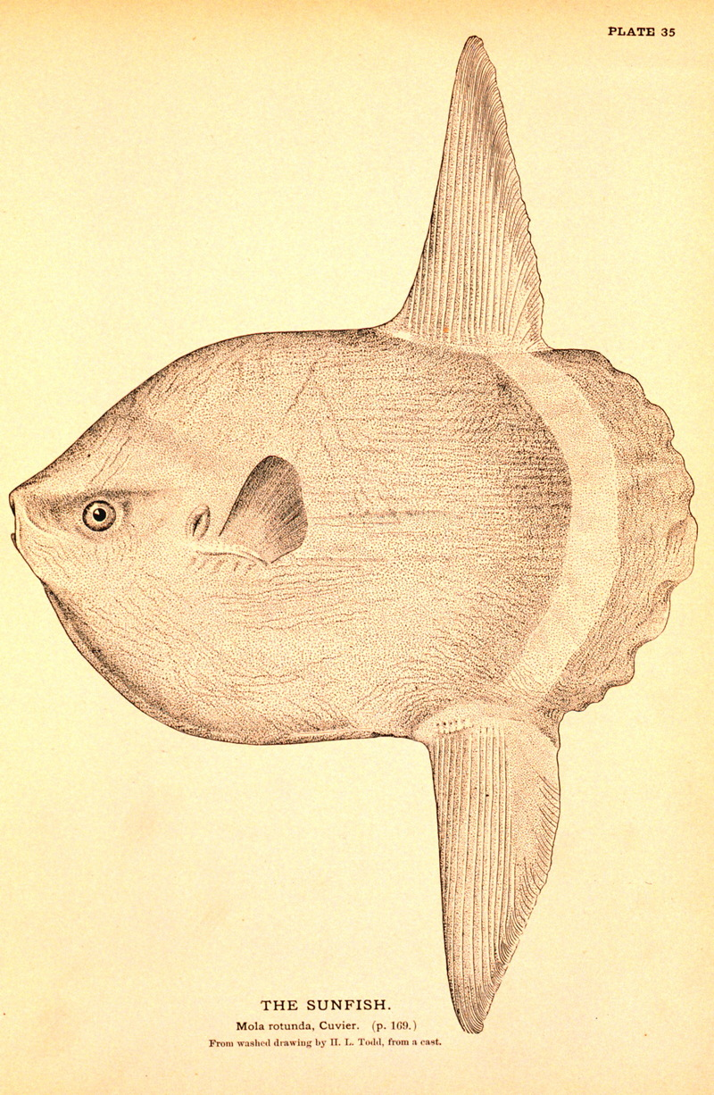 Ocean Sunfish (Mola mola) <!--개복치-->; DISPLAY FULL IMAGE.