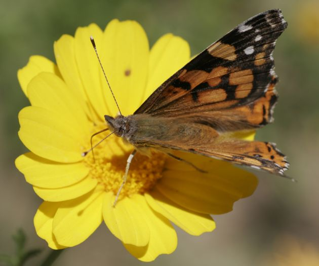 California Sees Worst Butterflies Season in 35 Years [LiveScience 2006-05-08]; Image ONLY
