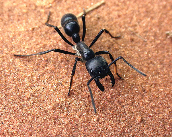 Ants of the World - Dinoponera australis - Large Ants [LiveScience 2006-05-08]; Image ONLY