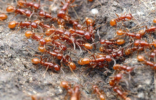 Ants of the World - Neivamyrmex californicus - Army Ants [LiveScience 2006-05-08]; Image ONLY