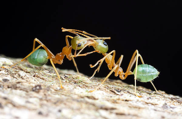 Ants of the World - Oecophylla smaragdina - Green Tree Ants  [LiveScience 2006-05-08]; Image ONLY