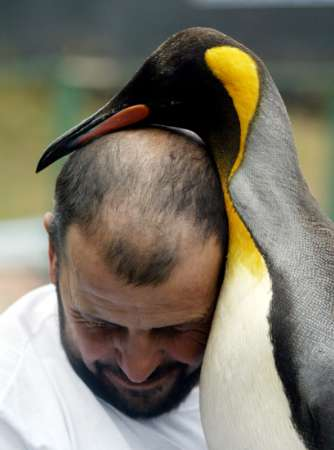 King Penguin, Uruguay [REUTERS 2006-05-11]; Image ONLY