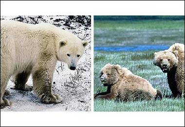 (Hybrid Animals) Polar-Grizzly Bear Cross, Canada [AFP 2006-05-10]; Image ONLY