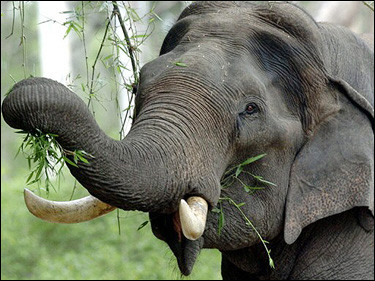 Indian Elephant, India [AFP 2006-05-10]; Image ONLY
