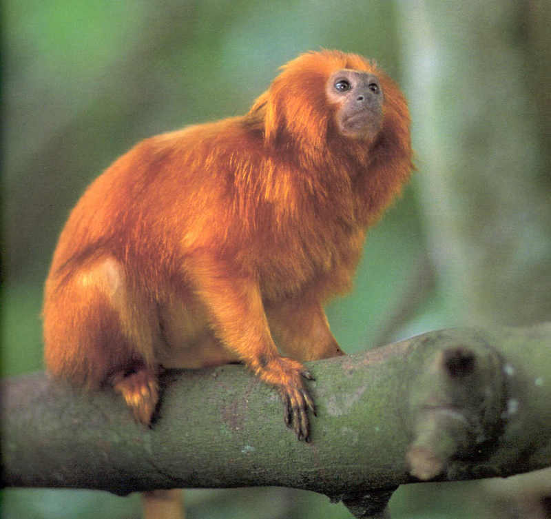 Golden Lion Tamarin Monkey Habitat