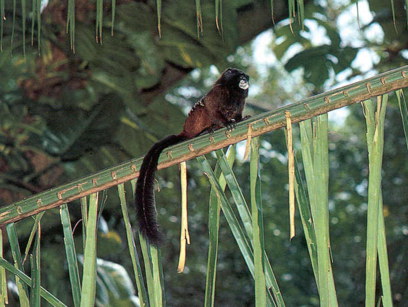Tamarins - Saddleback Tamarin; DISPLAY FULL IMAGE.