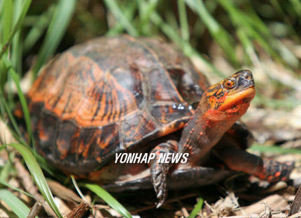 Flower-back box turtle (Cuora galbinifrons) [AP 2006-05-23]; Image ONLY