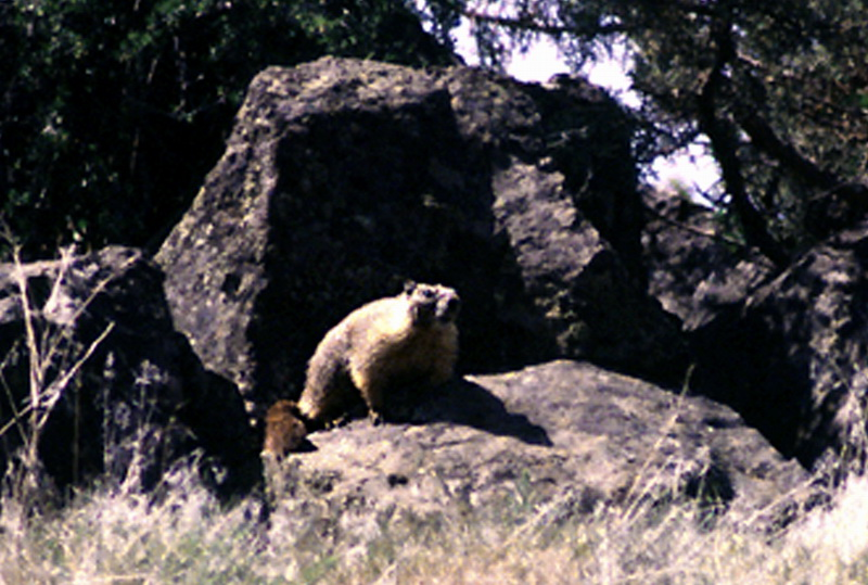 Yellow-bellied Marmot (Marmota flaviventris) <!--노란배마모트-->; Image ONLY