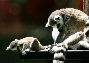 Ring-tailed Lemurs, Spain [Reuters 2006-05-25]; Image ONLY