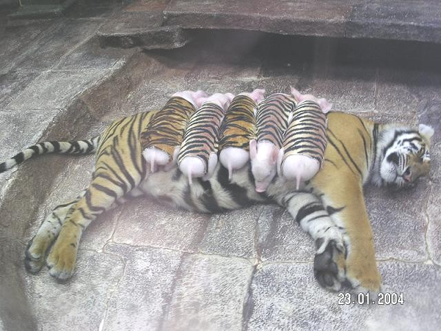 Tiger cubs; Image ONLY