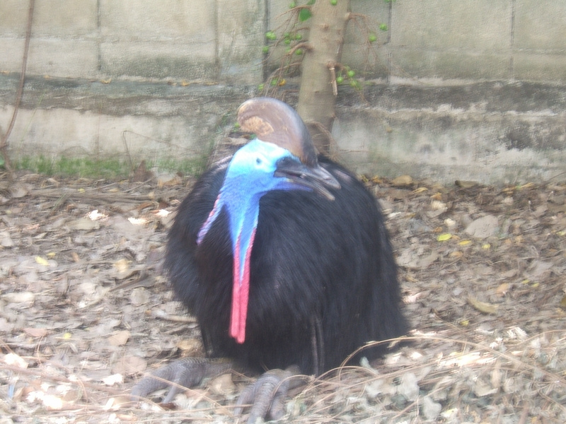 A Very Fat Bird in Thailand -- Southern cassowary AKA double-wattled cassowary (Casuarius casuarius); DISPLAY FULL IMAGE.