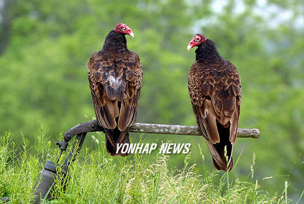 Turkey Vultures, Canada [AP 2006-06-02]; Image ONLY