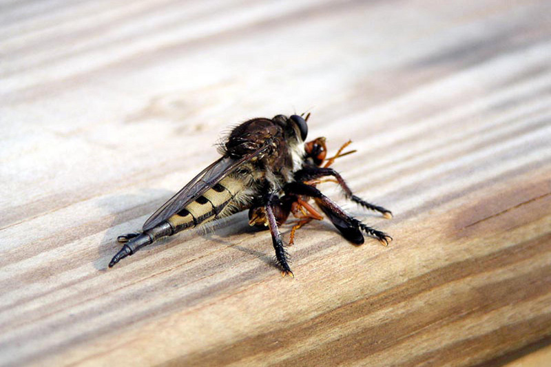 Robber Fly (Asilidae) {!--파리매류-->; DISPLAY FULL IMAGE.