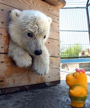 Polar Bear Cub, Russia [REUTERS 2006-06-06]; Image ONLY