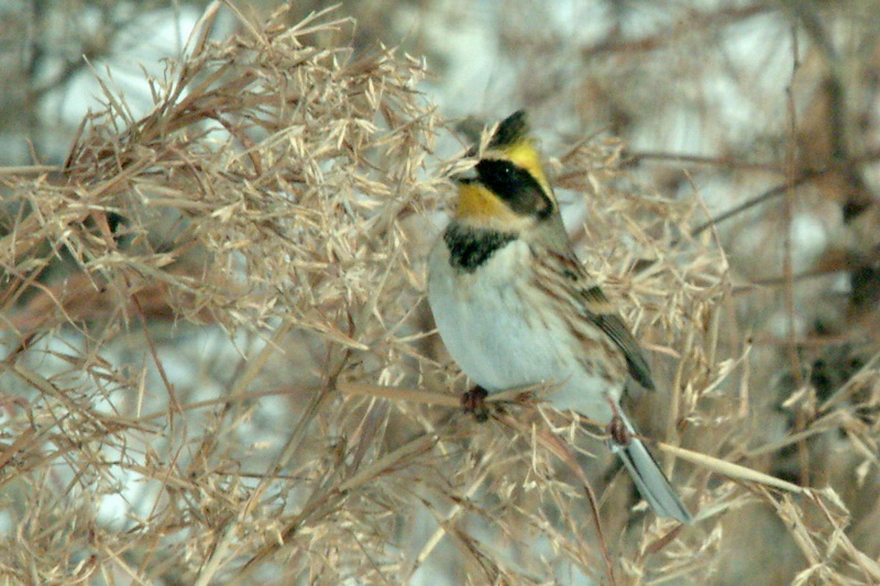 Emberiza elegans (Yellow -throated Bunting) <!--노랑턱멧새-->; Image ONLY