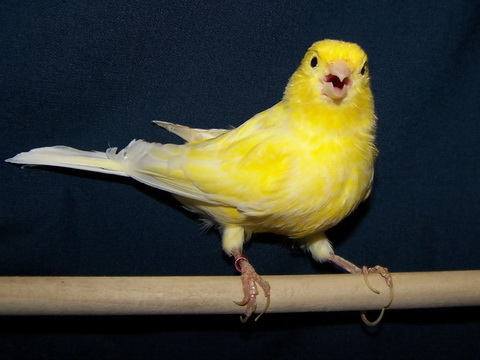 Female Birds Boost Up Their Eggs When Hearing Sexy Song [ScienceDaily 2006-06-07]; Image ONLY