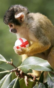 Bolivian black-capped squirrel monkey, Soccer, Britain [REUTERS 2006-06-08]; Image ONLY