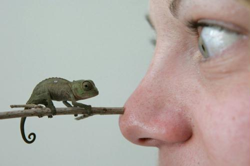 Baby Chameleon, Germany.jpg