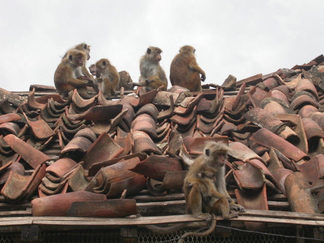 Roof monkeys; Image ONLY