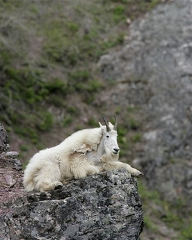 Rocky Mountain Goat, USA [AP 2006-06-12]; Image ONLY
