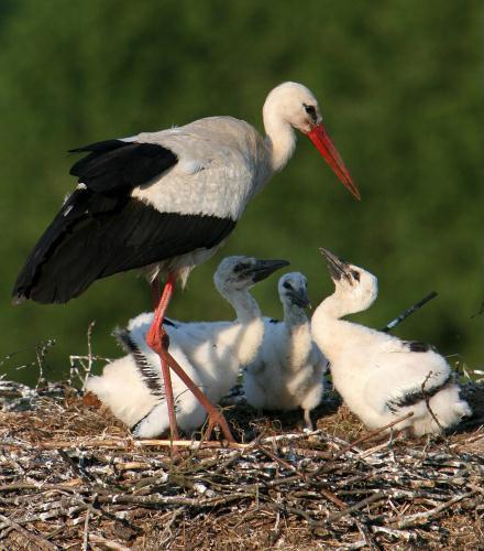 European White Stork family, Germany.jpg