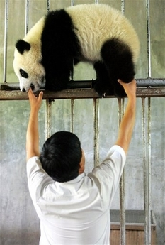 Giant Panda, China [AP 2006-06-11]; Image ONLY