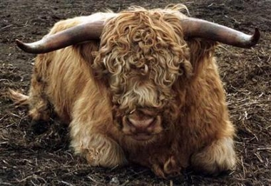 Scottish Highland Cattle, Germany [Reuters 2006-06-14]; Image ONLY