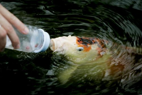 Bottle feeding koi carp image only for Koi feeding