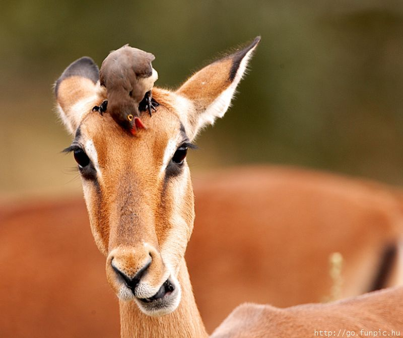 Red-billed Oxpecker on Antelope's head; Image ONLY