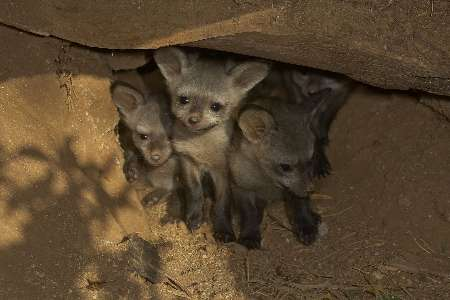 Bat-eared Fox Cubs, USA [Reuters 2006-06-15]; Image ONLY