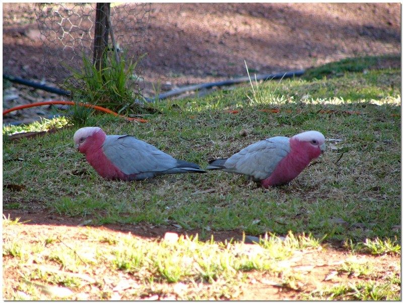 Galahs; DISPLAY FULL IMAGE.