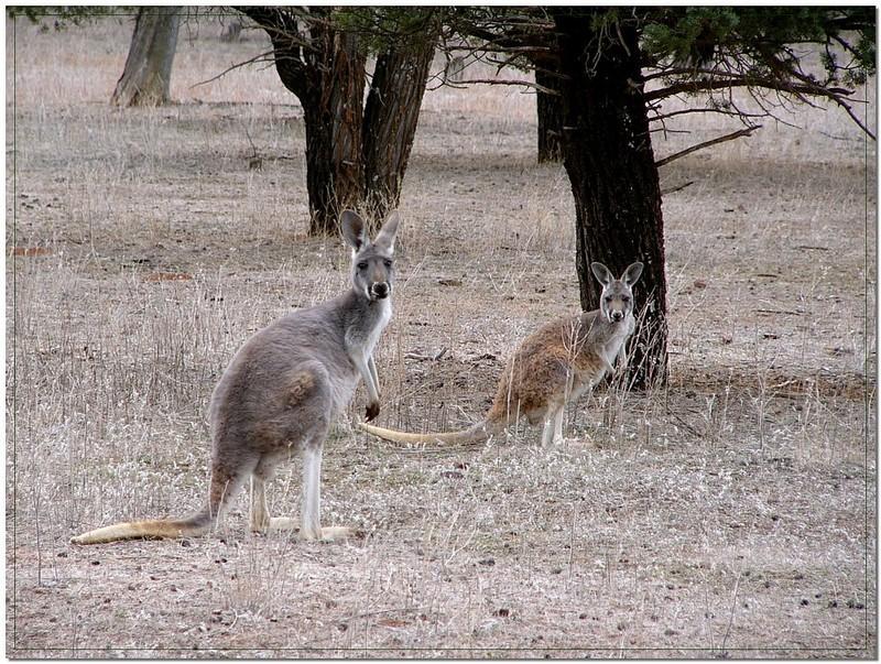 Red kangaroo and joey; DISPLAY FULL IMAGE.