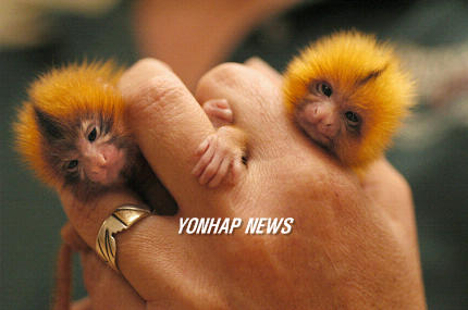 Golden Lion Tamarins, USA [AP 2006-06-17]; Image ONLY