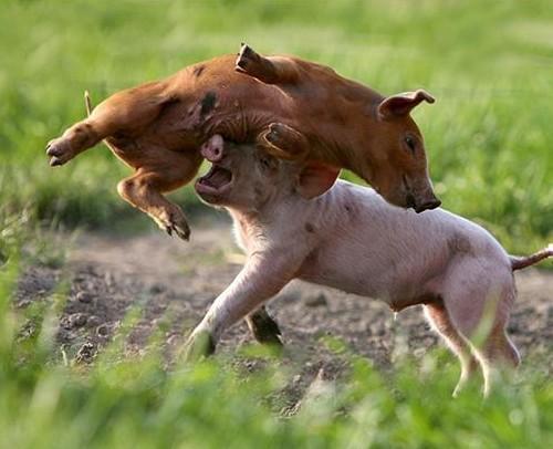 pigs playing.jpg