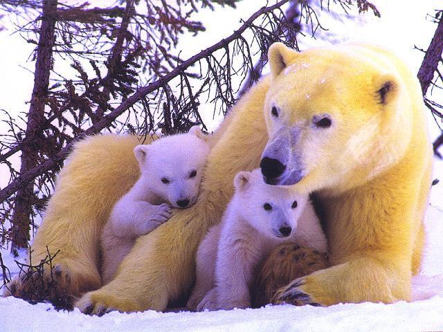 polar bear cubs.jpg