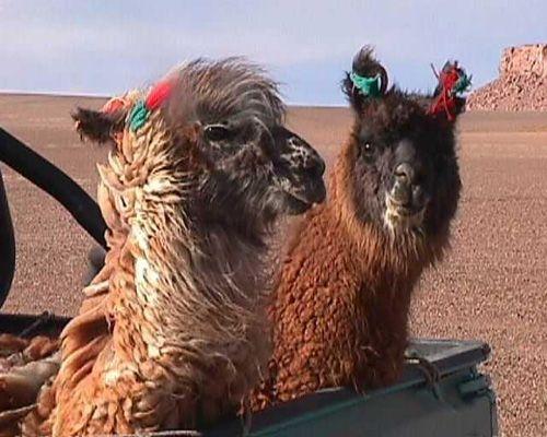 funny llamas 10.jpg