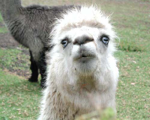 funny llamas 12.jpg