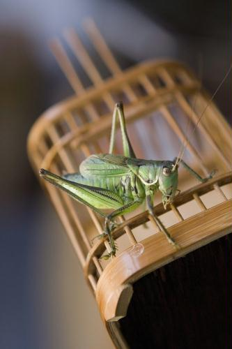 Chinese pet cricket; Image ONLY