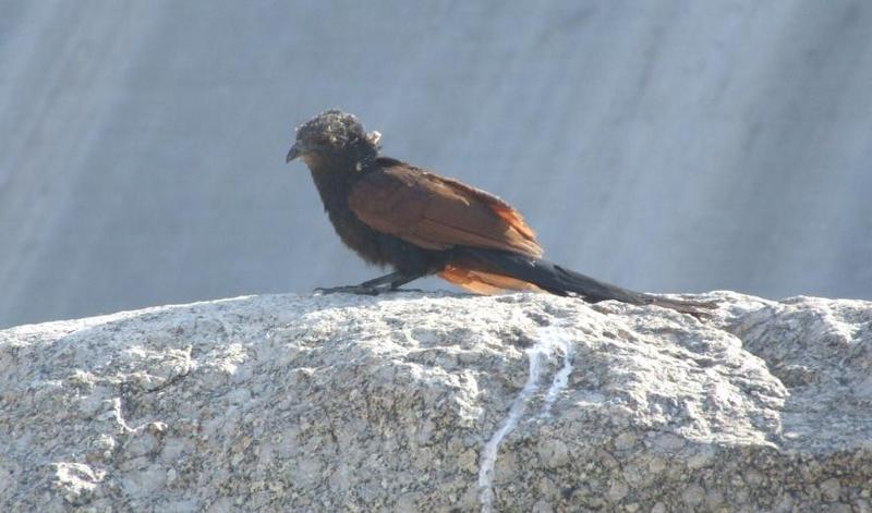 Greater Coucal - Centropus sinensis, copyrights 2006 , Maulik Suthar; DISPLAY FULL IMAGE.