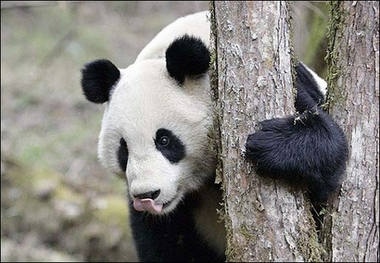 Giant Panda, China [AFP 2006-06-20]; Image ONLY