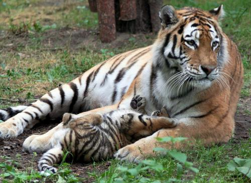 Cute Siberian Tiger Cub; Image ONLY Cute Siberian Tiger Cubs