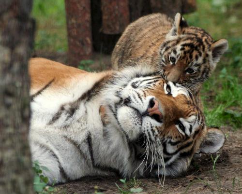 Cute Siberian Tiger Cub; Image ONLY Cute Siberian Tiger Cubs