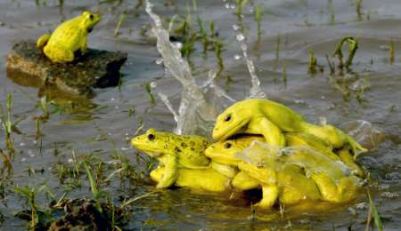 Indian Bullfrogs (Hoplobatrachus tigerinus) mating, India [REUTERS 2006-06-24]; Image ONLY