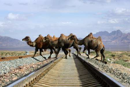 Bactrian Camels, China [REUTERS 2006-06-27]; Image ONLY