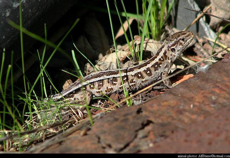 Lacerta Agilis - sandlizard; DISPLAY FULL IMAGE.
