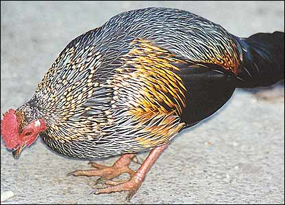 South Asian beauties in danger - Grey Junglefowl [BBC 2006-06-21]; Image ONLY