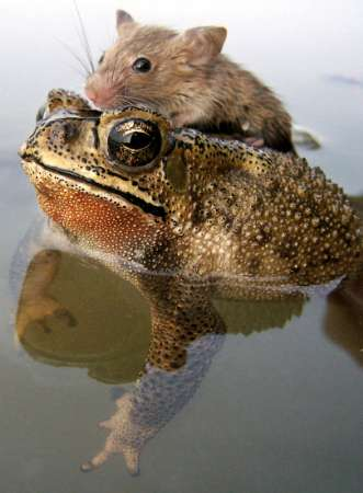 Mouse on Toad, India [REUTERS 2006-06-30]; Image ONLY