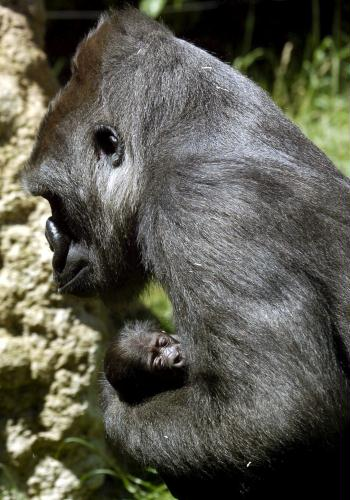 Mother Gorilla and Baby, Spain.jpg