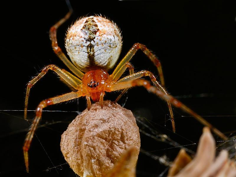 Aussie Spider Achaearanea.jpg